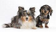 Shetland Dog Posters - Shetland Sheepdog And Dachshund Poster by Mark Taylor