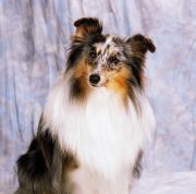 Concentration Prints - Shetland Sheepdog Portrait Of A Dog Print by The Irish Image Collection