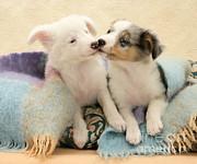 Jane Burton - Shetland Sheepdog Pups