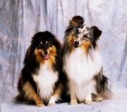 Loyal Dogs Posters - Shetland Sheepdogs Portrait Of Two Dogs Poster by The Irish Image Collection
