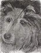 Sheepdog Drawings - Shetland by Shelley Jones