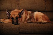 Shepherds Posters - Shhh. Dog Sleeping Here - German Shepherd Dog Poster by Angie McKenzie