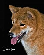 Akc Metal Prints - Shiba Inu Metal Print by Larry Linton