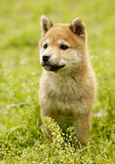 Dog Walking Posters - Shiba-ken Puppy Poster by Datacraft Co Ltd