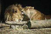 Lioness Framed Prints - Shiela Loves Matt Framed Print by Joe Burns