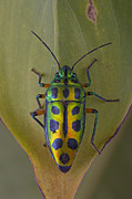 Featured Art - Shield Bug On Leaf Guinea West Africa by Piotr Naskrecki