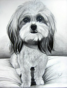 Shih Tsu Framed Prints - Shih Poo Graphite Framed Print by Chrissie Leander