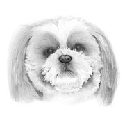 Popular Drawings Posters - Shih Tzu    Poster by Ann Hamilton