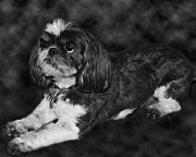 Pet Portrait Photos - Shih Tzu by Adam Romanowicz