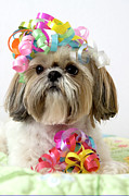 Party Photo Framed Prints - Shih Tzu Dog Framed Print by Geri Lavrov