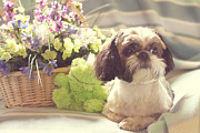 Shih Tzu Posters - Shih Tzu Ginger Poster by Lena Auxier