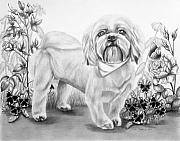 Pansies Drawings Framed Prints - Shih Tzu in Black and White Framed Print by Lena Auxier