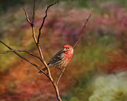 Wildlife Digital Art Prints - Shine Your Light On Me House Finch Print by J Larry Walker