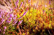 Jenny Rainbow - Shining Heather and Moss. Nature of Scotland