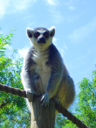 Lemur Photos - Shining One by Roberto Alamino