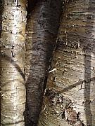 Cummington Photos - Shiny Silver Birch by Rosemary Wessel