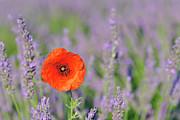 Shirley Poppy In English Lavender Field, Valensole, Valensole Plateau, Alpes-de-haute-provence, Provence-alpes-cote D Azur, Provence, France Print by Martin Ruegner