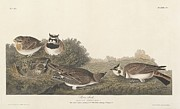 Shore Lark Print by John James Audubon