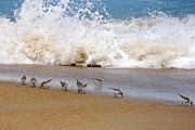 Beach Photograph Photo Originals - Shorebirds in the Sand by Kristine McNamara