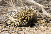 Short-beaked Echidna Print by Matthew Oldfield