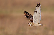 Animals Hunting Prints - Short-eared Owl Print by Andrew Sproule