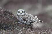 Attitude Photos - Short-eared Owl, Asio Flammeus, North Uist by Mike Powles