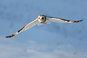 Hunt Acrylic Prints - Short-eared Owl Flying I Acrylic Print by Clarence Holmes