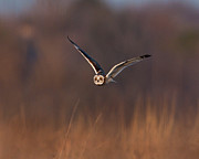 Animal Body Part Framed Prints - Short-eared Owl Framed Print by Photo by DCDavis