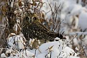 Hunt Metal Prints - Short Eared Owl Metal Print by Tim Grams