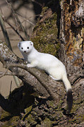 Animalsandearth Photos - Short-tailed Weasel Mustela Erminea by Konrad Wothe