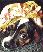 Black And White Jack Russell Terrier Puppies Photos - Shortcake And Her Hat by Linda Parker