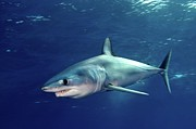Wild Metal Prints - Shortfin Mako Sharks Metal Print by James R.D. Scott