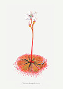 Nepenthes Drawings Posters - Shortleaf Sundew Poster by Scott Bennett