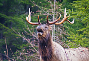 Bull Elk Posters - Shout Out Poster by Jake Johnson