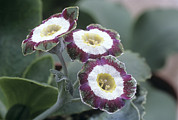 Primula Auricula Photos - Show Auricula astolat Flowers by Archie Young