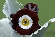 Primula Auricula Photos - Show Auricula gizabroon Flowers by Archie Young