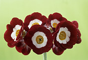 Primula Auricula Photos - Show Auricula headdress Flowers by Archie Young