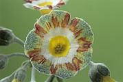 Primula Auricula Photos - Show Auricula lord Saye En Sele Flower by Archie Young