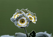 Primula Auricula Photos - Show Auricula monk Flower by Archie Young