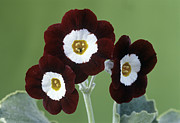 Primula Auricula Photos - Show Auricula old Red Elvet Flowers by Archie Young