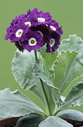 Primula Auricula Photos - Show Auricula purple Promise Flowers by Archie Young