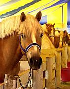 Connie Moses Art - Show Pony Tent- Haflinger Horses by Connie Moses
