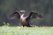 Cormorant Photos - Showing Off by Karol  Livote