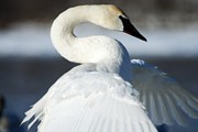 Trumpeter Swan Framed Prints - Showing Off Framed Print by Larry Ricker