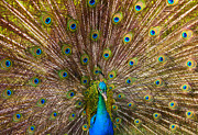 Peacock Photos - Showing Your Colors by Mike  Dawson