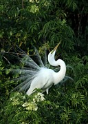 Egrets Framed Prints - Showy Great White Egret Framed Print by Sabrina L Ryan