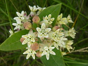 Estephy Sabin Figueroa Photo Metal Prints - Showy Milkweed Metal Print by Estephy Sabin Figueroa