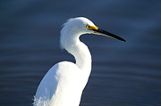 White Birds Framed Prints - Showy Snowy Egret Framed Print by Rich Franco