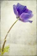 Shy Anemone Print by Marion Galt