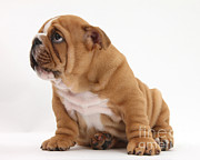 Submissive Metal Prints - Shy Bulldog Pup Metal Print by Mark Taylor